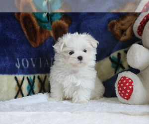 Maltese Puppy for sale in ASTORIA, NY, USA