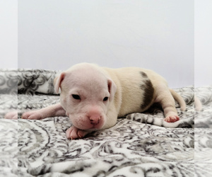 American Bully Puppy for sale in SPANAWAY, WA, USA