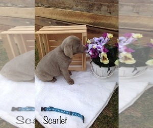 Labrador Retriever Puppy for Sale in POLK, Ohio USA