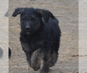 Shepadoodle Puppy for sale in FOUNTAIN, CO, USA