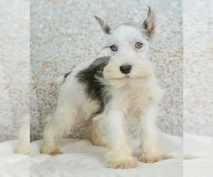Schnauzer (Miniature) Puppy for Sale in WARSAW, Indiana USA