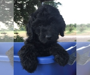 Goldendoodle Puppy for sale in GRANBURY, TX, USA