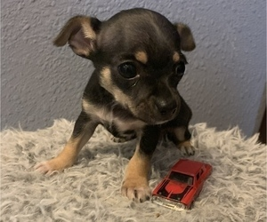 Chihuahua Puppy for sale in MC COOK, NE, USA
