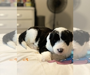 Sheepadoodle Puppy for sale in SENECA, SC, USA