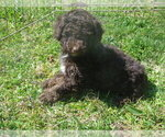 Poodle (Miniature) Puppy For Sale in AVA, MO, USA