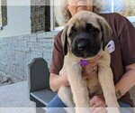 Puppy 3 Mastador-Mastiff Mix