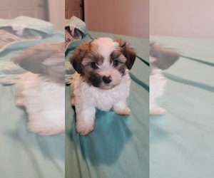 Morkie Puppy for sale in JACKSONVILLE, FL, USA