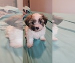 Small Morkie