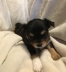 Chihuahua Puppy For Sale in TACOMA, Washington,