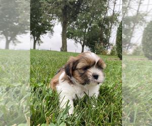 Shih Tzu Puppy for sale in ARCOLA, IL, USA