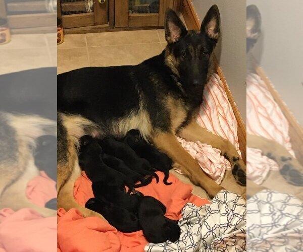 Medium Photo #1 German Shepherd Dog Puppy For Sale in GAMALIEL, AR, USA