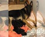 Small Photo #1 German Shepherd Dog Puppy For Sale in GAMALIEL, AR, USA