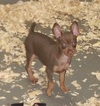 Male Miniature Pinscher Puppy