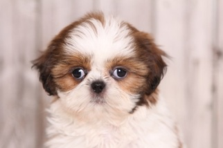 View Ad Shih Tzu Puppy For Sale Near Ohio Mount Vernon Usa Adn 33375