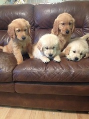 Golden Retriever Puppy For Sale in CRANSTON, RI, USA