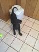 Puppy 1 Shepradors