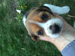 Beagle Puppy For Sale in SPOKANE, WA