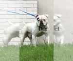 Small #1 American Bulldog