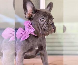 French Bulldog Puppy for Sale in PALO ALTO, California USA