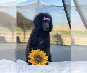 Poodle (Standard) Puppy for Sale in PORTERVILLE, California USA