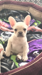 French Bulldog Puppy For Sale in RIVERVIEW, FL, USA
