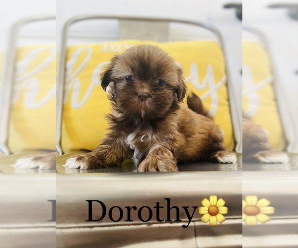 Medium Photo #1 Shih Tzu Puppy For Sale in COOKEVILLE, TN, USA