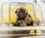 Small Photo #1 Shih Tzu Puppy For Sale in COOKEVILLE, TN, USA