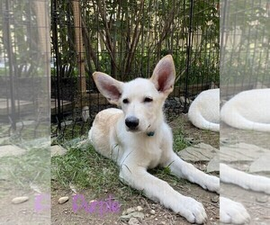 German Shepherd Dog Puppy for sale in FALMOUTH, VA, USA