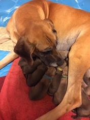 Irish Dane Puppy for sale in BURLESON, TX, USA