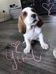 Puppy 1 Basset Hound