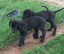 Great Dane Puppy For Sale in DEVINE, Texas,