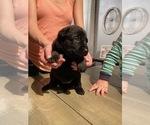 Small #7 Dutch Shepherd Dog