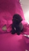 Pom-A-Poo Puppy For Sale in CAPE CORAL, FL