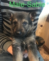 German Shepherd Dog Puppy For Sale in CANTON, OH, USA
