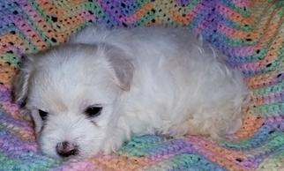 Maltese Puppy For Sale in ANDERSON, AL