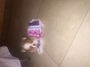 Pomeranian Puppy For Sale in LOS ANGELES, CA