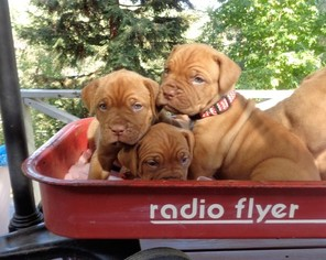 Gorgeous Dogue de Bordeaux Puppies