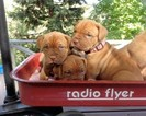 Dogue de Bordeaux Puppy For Sale in PLACERVILLE, CA
