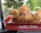 Dogue de Bordeaux Puppy For Sale in PLACERVILLE, CA