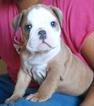 Bulldog Puppy For Sale in RIVERSIDE, CA,