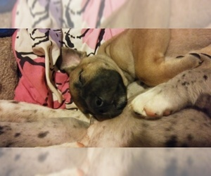Great Dane Puppy For Sale in HOWARD CITY, MI, USA
