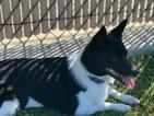 American Eskimo Dog (Toy)-Corgi Basset Mix Puppy For Sale in RANCHO BERNARDO, CA, USA