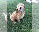 Puppy 9 Labradoodle-Poodle (Miniature) Mix