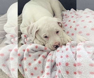 Boxador Puppy for sale in VIRGINIA BCH, VA, USA