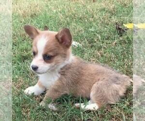 Pembroke Welsh Corgi Puppy for sale in HAVEN, KS, USA