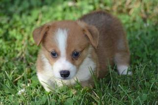 View Ad Pembroke Welsh Corgi Puppy For Sale Near Florida Port
