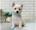 Small Photo #1 Shiba Inu Puppy For Sale in BEVERLY HILLS, CA, USA