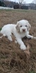 Pyredoodle Puppy For Sale in ATL, GA, USA
