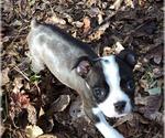 Small #9 Boston Terrier