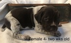 German Shorthaired Pointer Puppy For Sale in BULVERDE, TX, USA